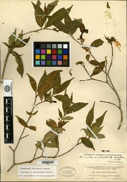 Image of Tabernaemontana eubracteata