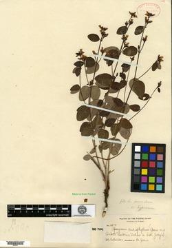 Image of Apocynum cardiophyllum