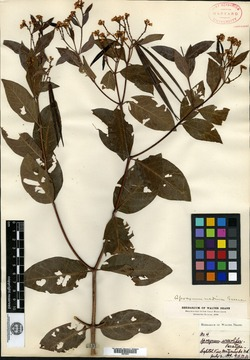 Apocynum urceolifer image