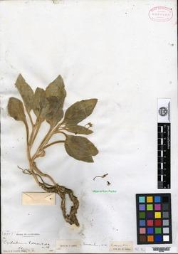 Image of Cycladenia tomentosa