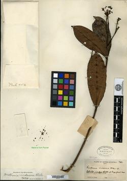 Image of Forsteronia viridescens
