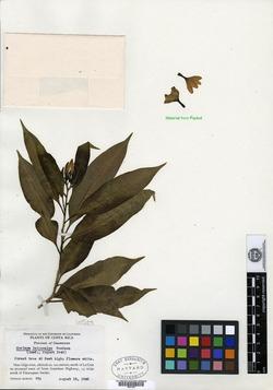 Image of Mortoniella pittieri