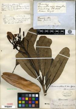 Image of Plumeria emarginata