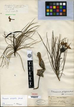 Image of Plumeria filifolia