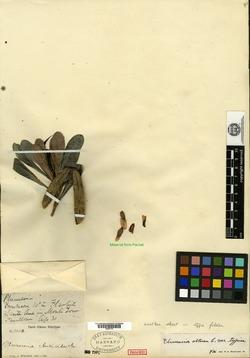 Image of Plumeria clusioides