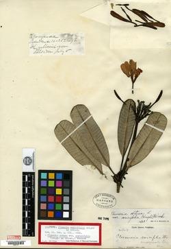 Image of Plumeria sericifolia
