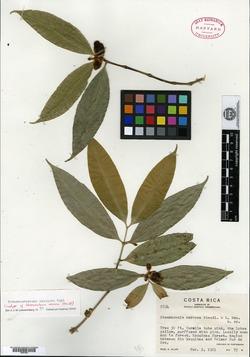 Image of Tabernaemontana undulata