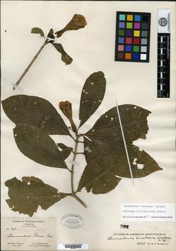 Image of Tabernaemontana tomentosa