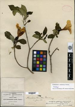 Image of Stemmadenia tomentosa