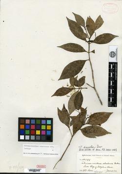 Image of Tabernaemontana ochroleuca