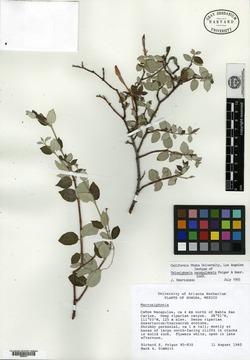 Image of Telosiphonia nacapulensis