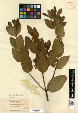 Apocynum palustre image
