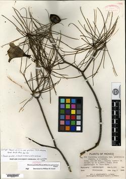 Image of Cascabela pinifolia