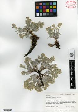 Oreocarya compacta image