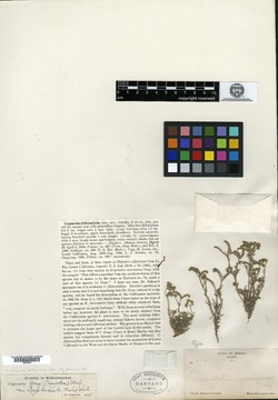 Image of Cryptantha filiformifolia