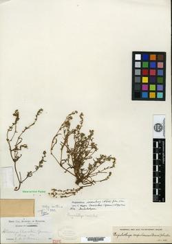 Allocarya cusickii image