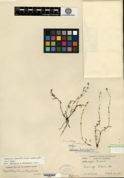 Image of Allocarya eastwoodae