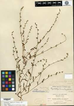 Image of Allocarya echinacea