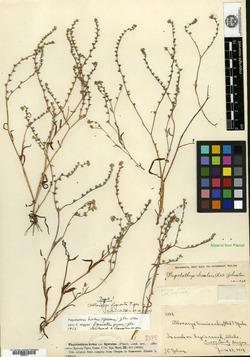 Allocarya figurata image