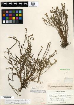 Image of Allocarya granulata