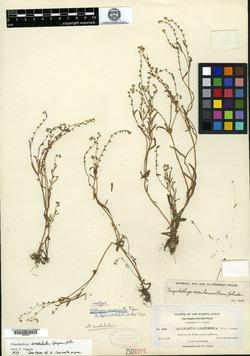 Image of Allocarya inornata