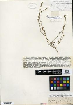 Image of Allocarya penicillata