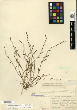 Image of Allocarya spiculifera