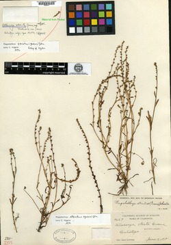 Image of Allocarya stricta