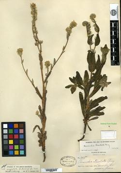 Image of Amsinckia angulata