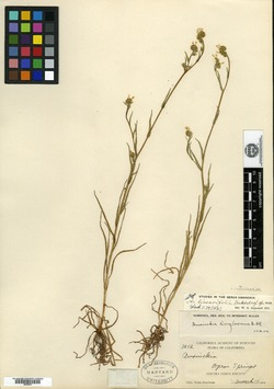 Image of Amsinckia linearifolia