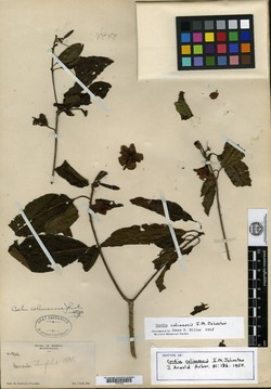 Image of Cordia colimensis