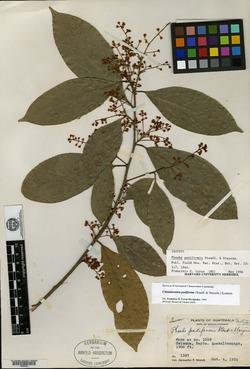 Image of Aiouea padiformis