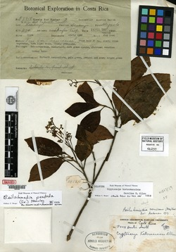Beilschmiedia costaricensis image