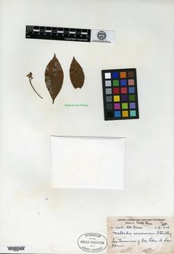 Image of Nectandra ramonensis