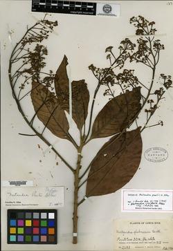 Nectandra cissiflora image