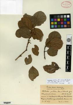 Image of Nectandra pulchra