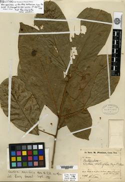Ocotea mollifolia image