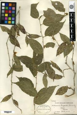 Image of Hibiscus purpusii