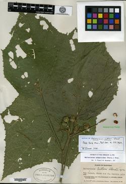 Image of Malvaviscus achanioides