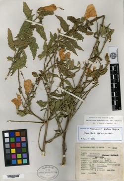 Image of Malvaviscus urticifolius