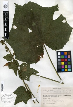 Image of Pavonia pleuranthera