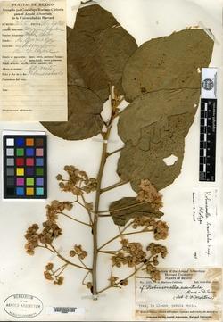 Image of Robinsonella brevituba