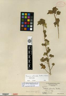 Image of Pavonia calcicola