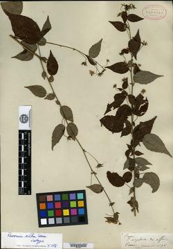 Image of Pavonia alba