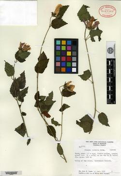 Image of Pavonia aurantia