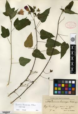 Image of Pavonia leiocarpa