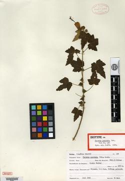 Image of Pavonia punctata