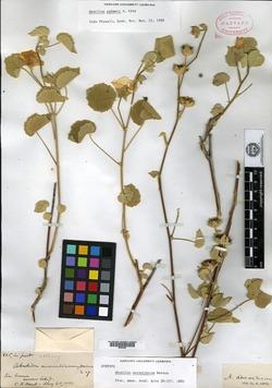 Image of Abutilon aurantiacum