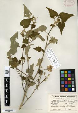 Image of Abutilon hypoleucum