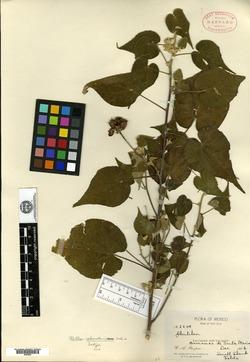 Abutilon sphaerostaminum image